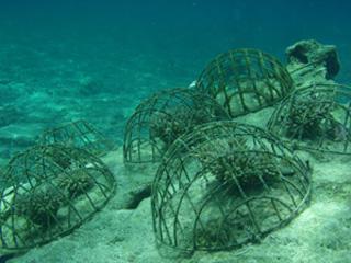サンゴの植付体験けダイビング③