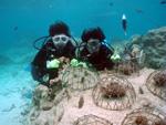サンゴの植付けダイビング